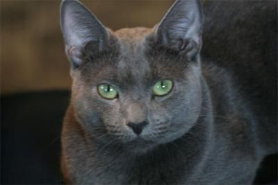 Russian Blue: Blue Cats, Blue Th, Blue Animal, Blue Russian, Blue Pet, Cat Breeds, Cat Pictures, Blue Green Eye, Russian Blue Cat