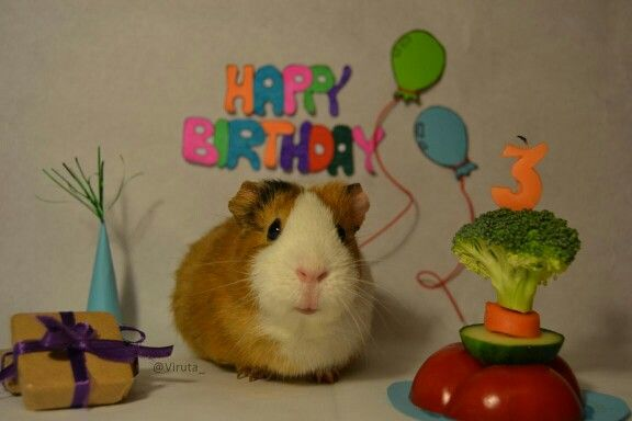 Guinea pig birthday party / cumpleaños de cobaya (Foto L. Berenguel) @viruta_