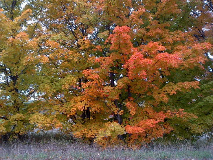 Maples in transition.