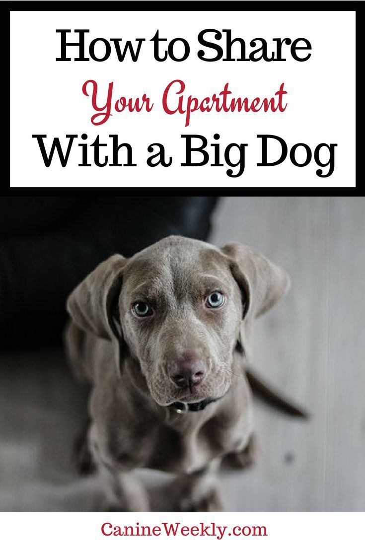 10 Best Big Dogs For Apartments Big Dogs