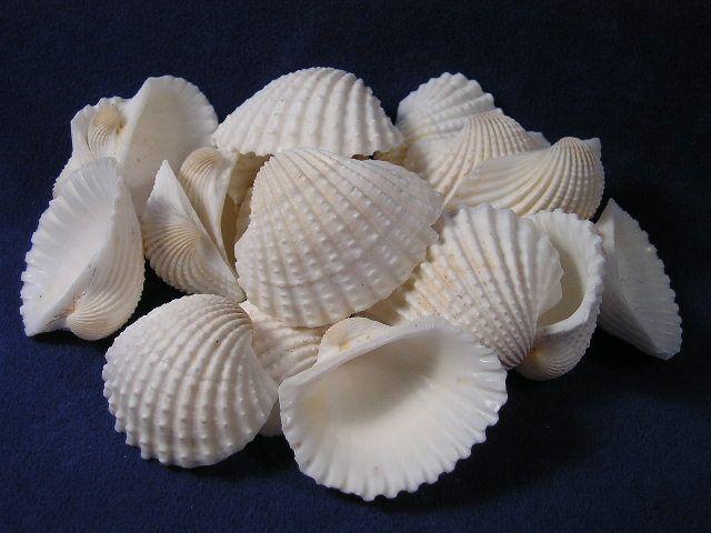 Buy white arc clams sea shells white ark clam seashells for Big seashell crafts