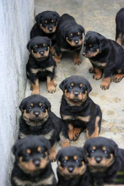 I just can't... too much rotties! My heart can't handle this... :))))