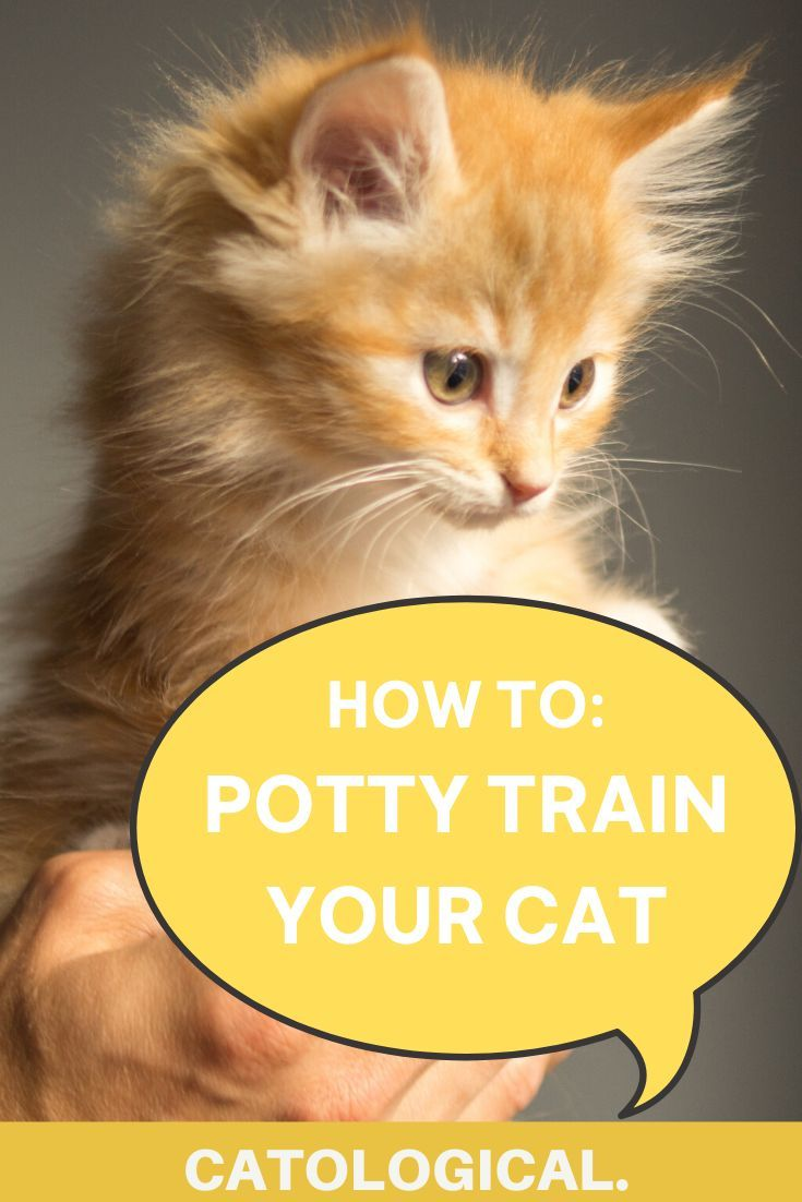 How To Potty Train Your Cat Though You Probably Shouldn T In 2020 Cat Training Cat Parenting Cats