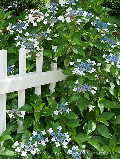 Lacecap Hydrangea Varieties - the blue & white of this lacecap hydrangea looks great growing around a bright white fence.