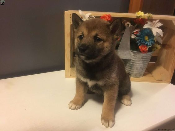 Blackie, Shiba Inu Puppy