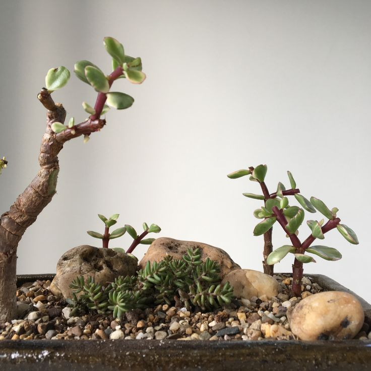 2017|08|07 PORTULACARIA AFRA VARIEGATA | A first attempt to make a very small african landscape