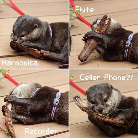 2016/05 Gino's philharmonic🎼🎷🎺🎸🎶 ジーノ演奏隊🎼🎷🎺🎸🎶 1個だけなんか違う…📞 #AQUARIUM #水族館 #サンシャイン水族館 #池袋 #コツメカワウソ #カワウソ #かわうそ #ジーノ #演奏 #ハーモニカ #リコーダー #フルート #音楽 #楽しい #可愛い #otter #asiansmallclawedotter #music #fun #adorable #Gino #harmonica #flute #recorder #phone