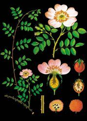 "Vintage Jung-Koch-Quentell print on canvas| ""Dog Rose"" 