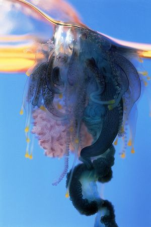 Portuguese Man-of-war