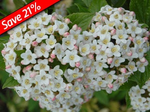 Huge flragrant snowball clusters of white fragrant flowers in April-May