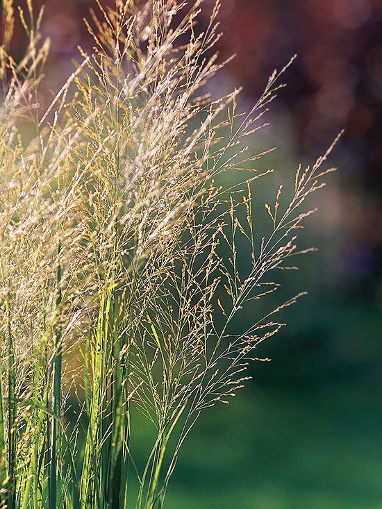 1000 images about ornamental hairgrass on pinterest for Tall grass plants