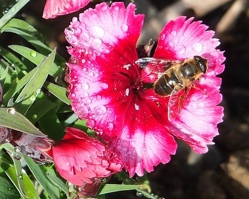 Bee on rain drenched Pinks_0004.jpg