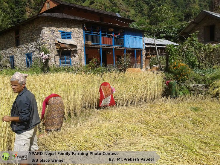 "Third Winning picture of the YPARD Nepal Family Farming Photo Contest: ""Wheat Harvesting""   http://www.ypard.net/news/announcing-winners-ypard-nepal-family-farming-photo-contest"