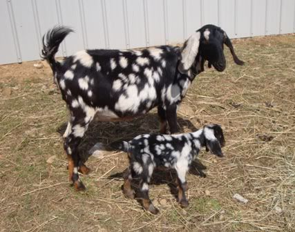 Awesome - I'm very jealous! | Animals | Baby goats, Goats, Animals