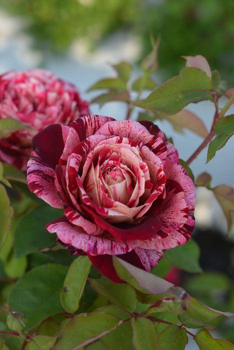 Ottavio Missoni, Hybrid Tea rose. Italy, 2014 Barni