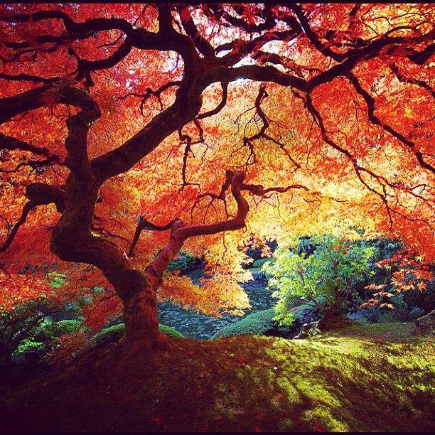 Japanese GardensJapanese Maple Trees, Fall Colors, Japanese Beauty, Japan Beautiful, Japanese Gardens, Fall Trees, Amazing Nature, Japan Gardens, Portland Oregon