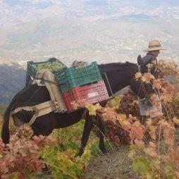 Ten oosten van de stad #Granada ligt een prachtig bergachtig gebied aan de zuidflank van de #SierraNevada. Een ruig gebied met de hoogste #wijngaarden van Europa en een uniek (micro)klimaat. Spannende wijnen met een mooi verhaal komen hier vandaan. Een ontdekking waard! #Wijnreis #Alpujarras #wijn #wijnproeven #vakantie #Spanje