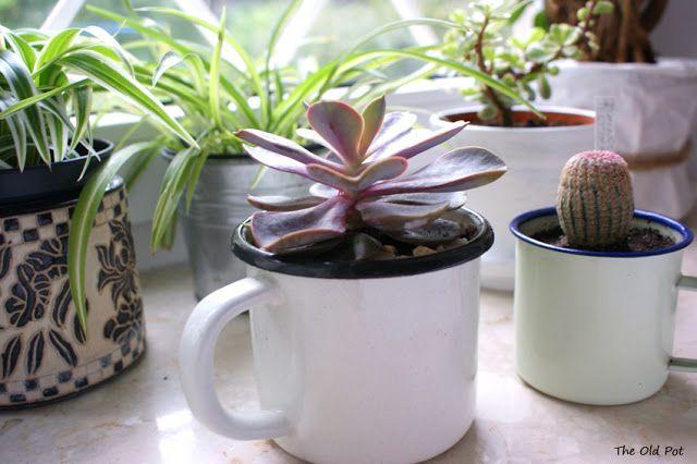 """the old pot: echeveria perle von nurnberg & echinicereus pectinatus rubispinus """"rainbow cactus"""""""
