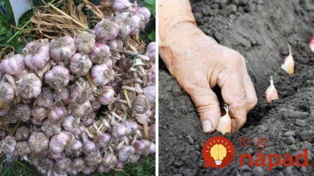 Cenná rada pre dopestovanie bohatej úrody cesnaku!