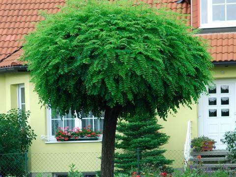kugelb ume im garten arten und tipps zum kauf wand beet garten pinterest kugelbaum. Black Bedroom Furniture Sets. Home Design Ideas