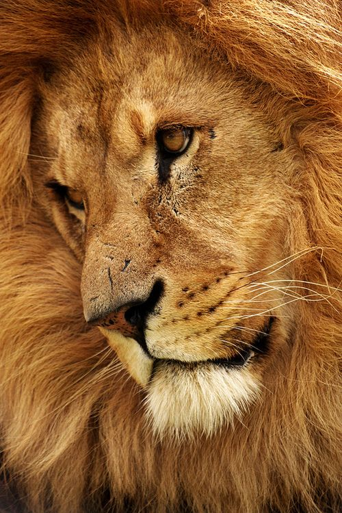 Lion King Wildlife Photography By Nick Cockcroft