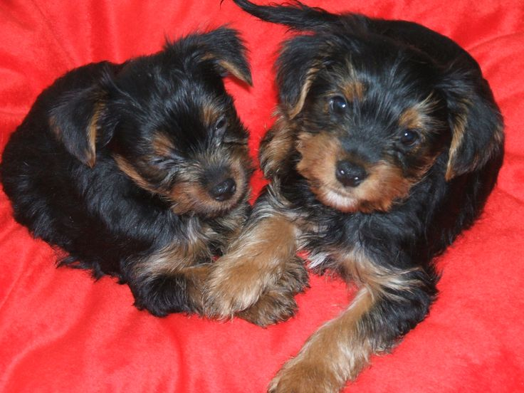 1000+ images about Yorkshire Terrier Dogs on Pinterest ...