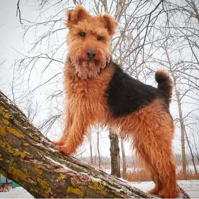 Wales Tails: The History of Welsh Dogs