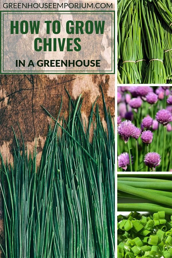 How To Grow Chives In A Greenhouse Greenhouse Emporium Growing Chives Greenhouse Growing Greenhouse Gardening