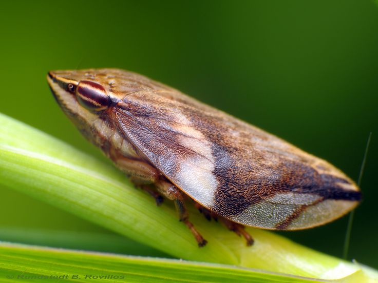 Froghoppers or spittlebugs are small, hopping insect of the order Homoptera. The adult, under 1/2 in. (1.2 cm) long in most species, is triangular in shape and usually gray or dull green to brown. Most froghoppers feed on plants and shrubs; a few feed on trees. They leap from plant to plant, seldom flying. Females insert their eggs in plant stems and sometimes cover them with a protective frothy material. When the nymphs, or larvae, emerge, they feed on the surface of the stem, sucking t...