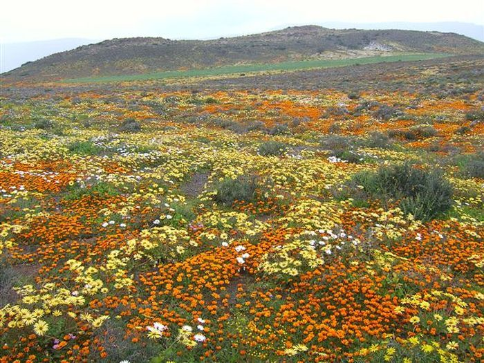 Wild flowers in Namaqualand