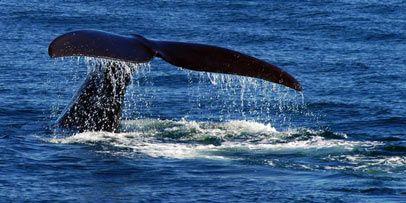 Observation Des Baleines, Nouveau Brunswick, Canada