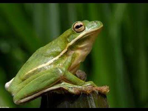 How to setup a American Green Tree Frog Terrarium