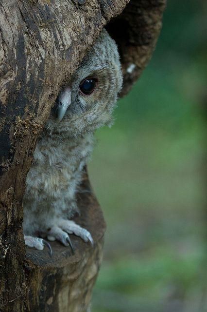 Tawny Owl Pullus (Strix aluco) - Paolo Taranto 1st place by OwlFest, via Flickr