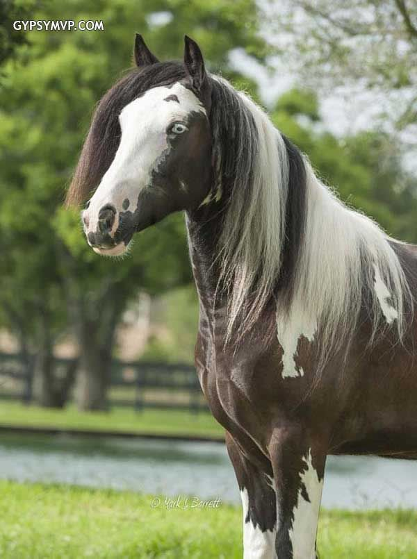 Best Gypsy Vanner Fillies  Colts Images On   Horse