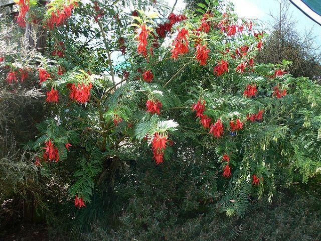 kaka plant
