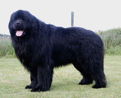 Razas perros grandes                                                                                                                                                                                 Más