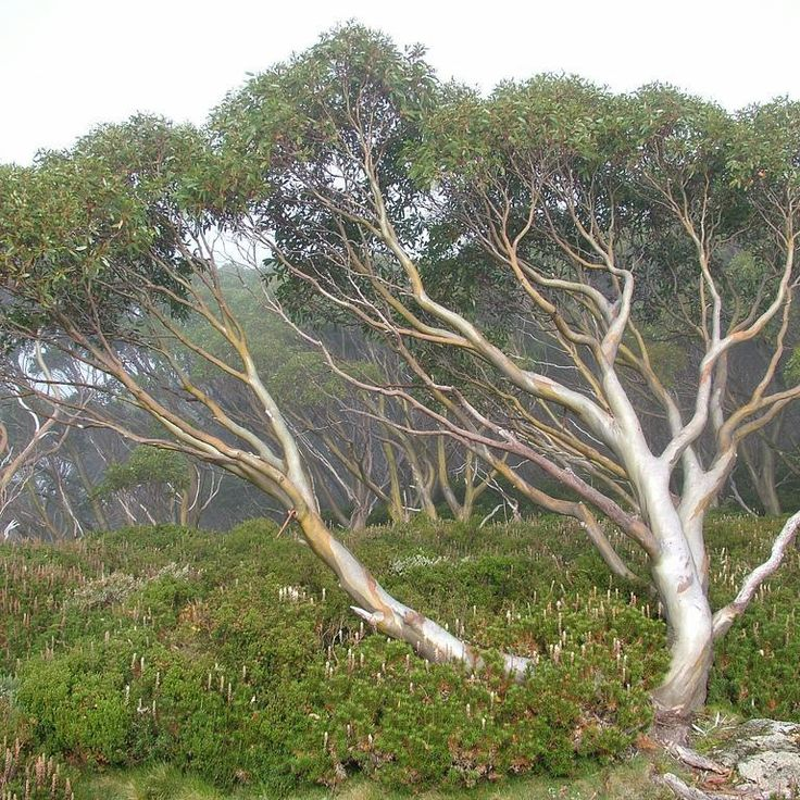 Fiche plante : Eucalyptus