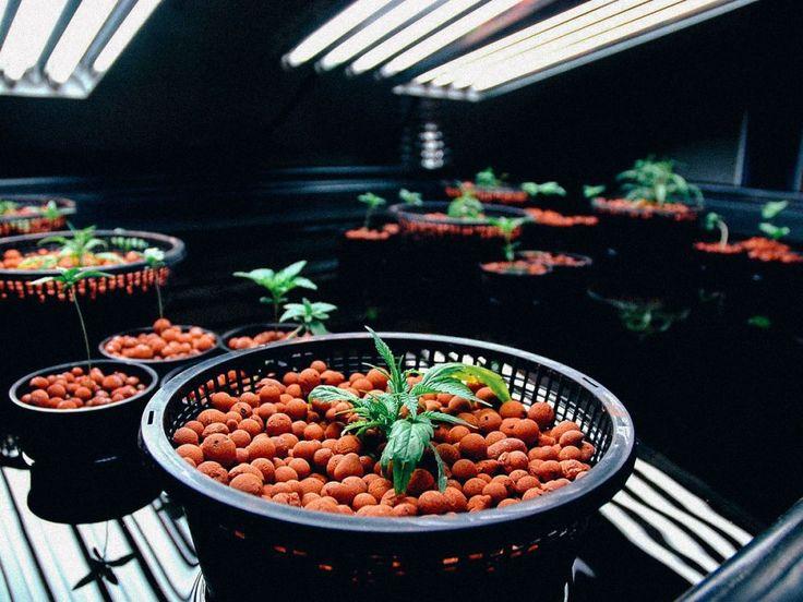 How to Grow Huge Cannabis Buds