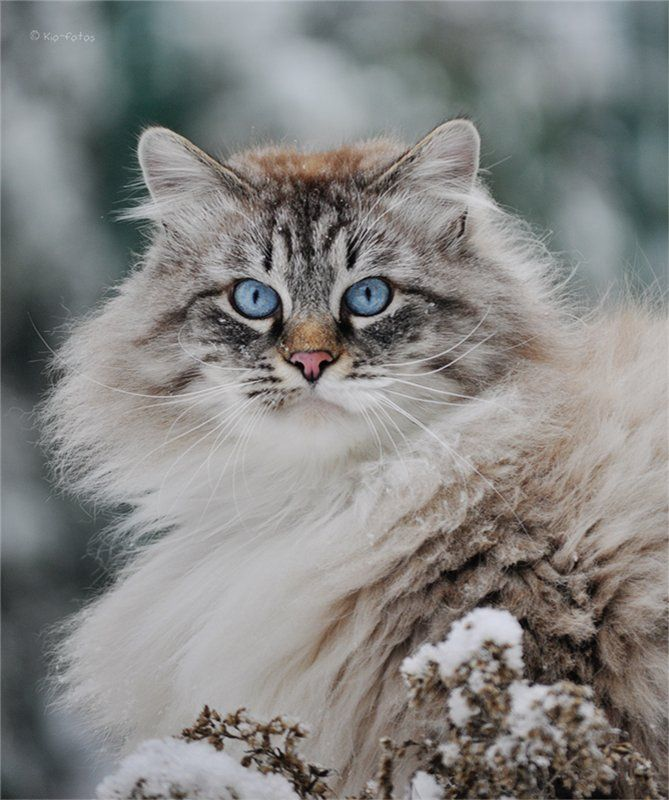 "Beautiful Himalayan Persian cat in the snow.  Looks just like our ""Kitty"" did!!"