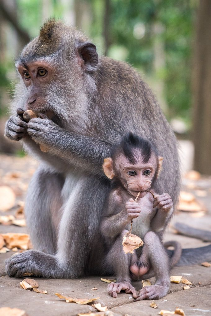 Sacred Monkey Forest Sanctuary, Ubud, #Bali