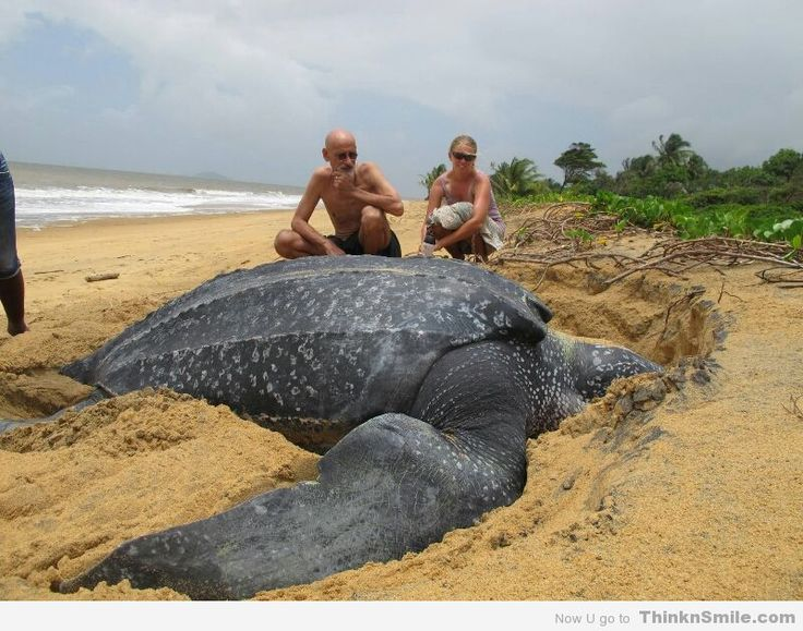 Leatherback sea turtle pictures in the water - photo#36