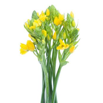 Ornithogalum Yellow Flower is a stunning flower in the Star of Bethlehem family. Bunches of bright yellow flowers and lush greenery sit at the top of tall smooth stems. The blooms slowly open into beautiful yellow stars, making them ideal for a baby shower, spring brunch or bright wedding. Incredibly versatile, stems of this flower can be used as an accent to other focal flowers like tulips, day lilies, gerbera daisies and delphinium or simply arranged in bunches on their own. Gorgeous in…