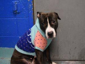 TO BE DESTROYED 11/18/16! At the NYC Animal Control in Brooklyn. Please click on the link and contact the Help Desk before noon on 11/18 to foster or adopt this death row doggie!