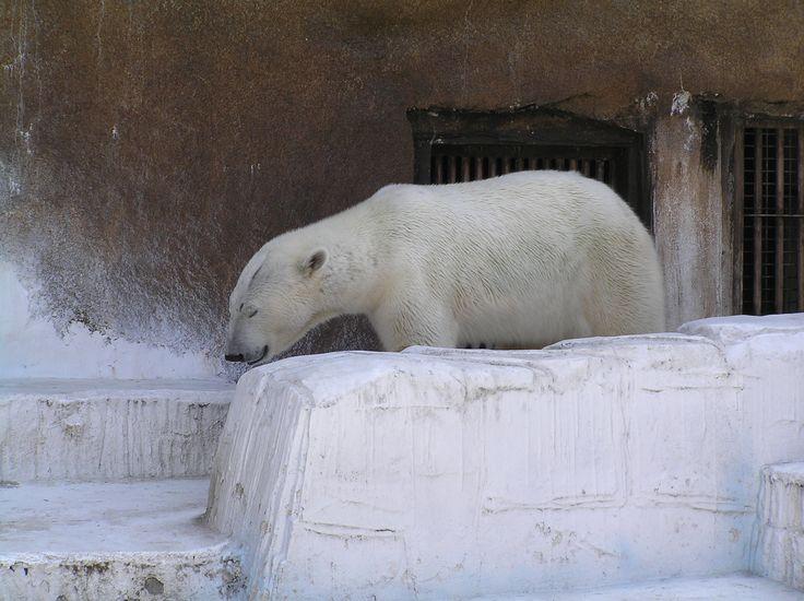 天王寺動物園の白くまです。