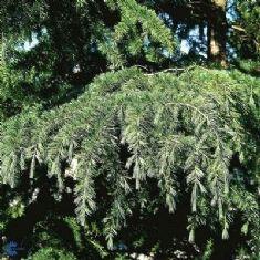 Japansk Lærk (Larix Kaempferi) er et hurtigt tætvoksende nåletræ med kegleformet krone. Bløde, blå nåle. Løvfældende. Trives i sol-halvskygge. Japansk lærk får om efteråret smukke gule høstfarver.Kan anvendes som klippet hæk. 18 kr for 50-80 cm  2-3 stk. planter pr. meter.