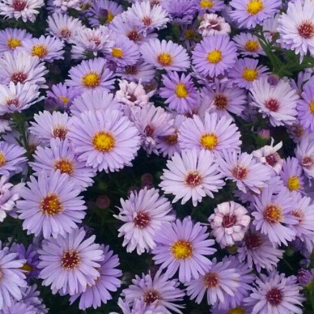 """Professor Kippenburg"" Dwarf Michaelmas Daisy in full bloom."