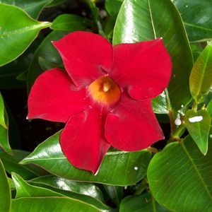 Buy Dipladenia Rio Deep Red Annual Plants Online. Garden Crossings Online Garden Center offers a large selection of Mandevilla Plants. Shop our Online Annual catalog today!