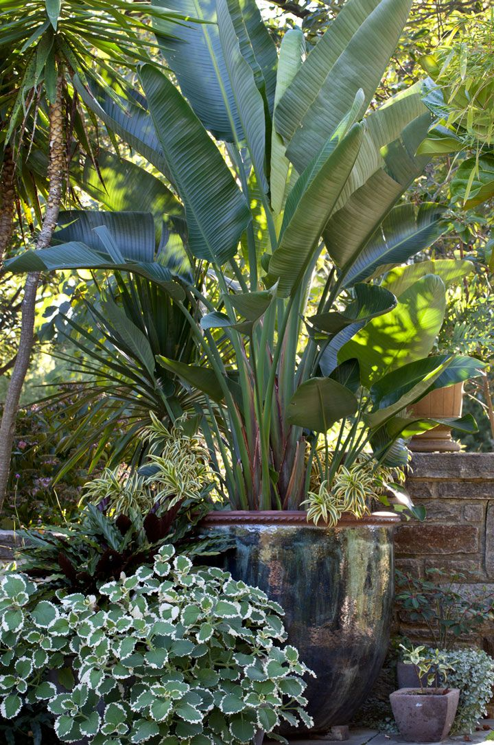 Strelitzia niclolai, the Natal Wild Banana, graces a container in The Entry Garden. Photo by Lisa Roper