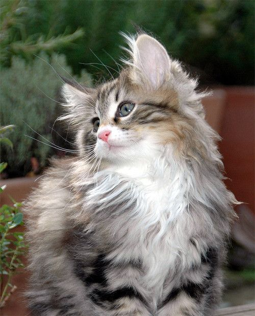 Beautiful Norwegian Forest Cat - what Lohki, Laddie, and Cooper looked like as kittens... Beautiful kittens!
