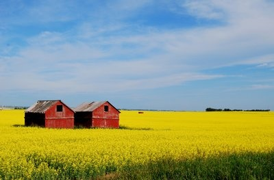 alberta canola field with buildings